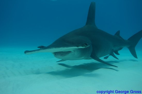 Bimini Sands Resort and Marina: diving with big animals