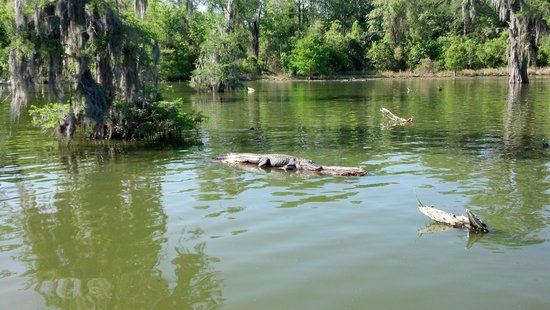 Champagne's Cajun Swamp Tours: alligator resting in the sun