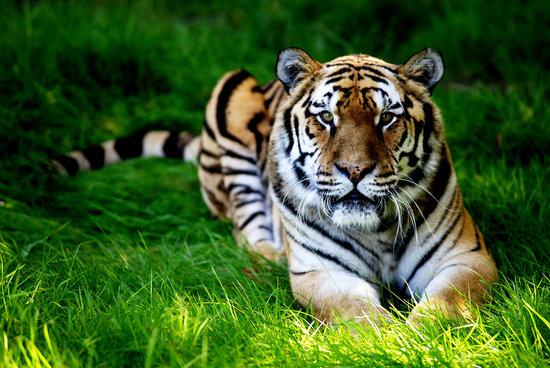 Amur Tiger at Woburn Safari Park