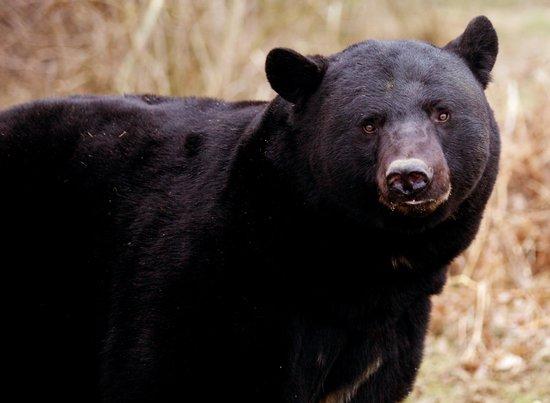 Black Bear at Woburn Safari Park