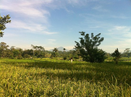 Tegalalang Rice Terrace: more paddy fields