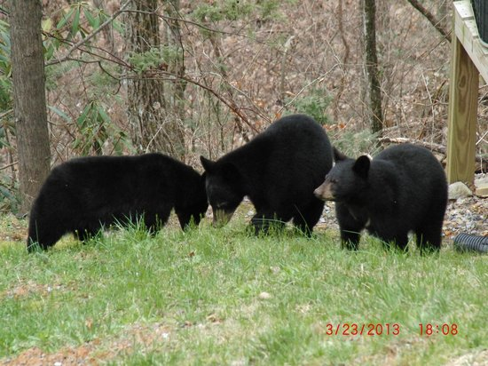 Westgate Smoky Mountain Resort & Spa: Mama bear and three baby bears outside our rooms