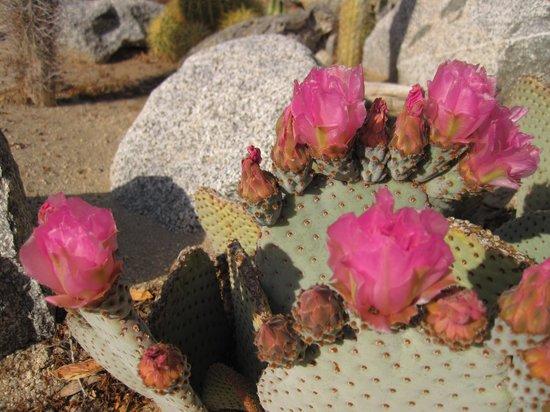 Boynton's - Hacienda del Sol: Prickly pear blooming