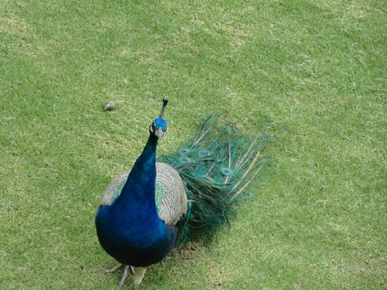 Great Rift Valley Lodge & Golf Resort: Peacock Male
