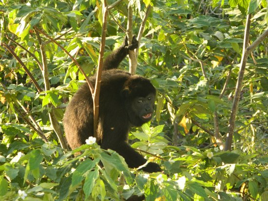 Hotel Barcelo Langosta Beach: My howler monkey, he's off my balcony, and I didn't zoom!