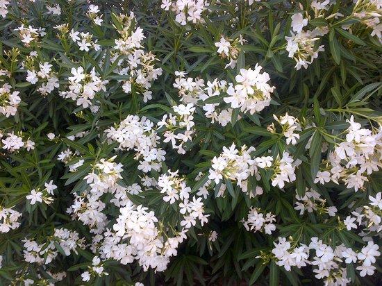 Hilton Garden Inn Phoenix Airport North: White Oleander