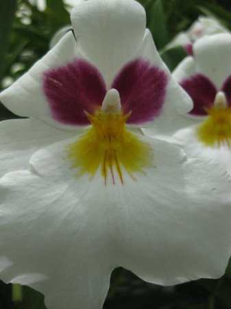Hillwood Museum & Gardens: Hillwood Orchid