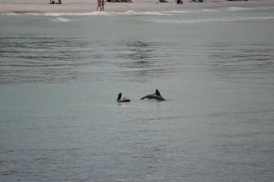 Naples Pier: Dolphins swimming in comparison to shore line.