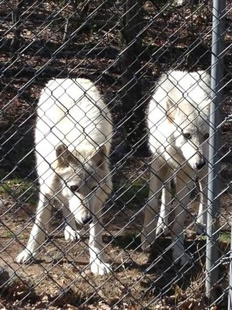 Lakota Wolf Preserve: two of the wolves on the preserve