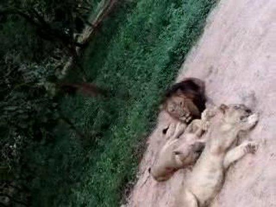 Nandankanan Zoological Park: LiOn Safari