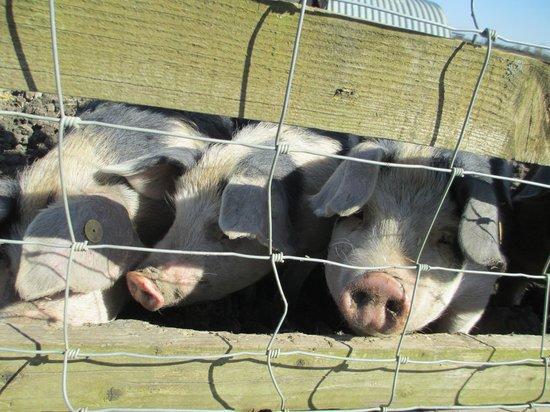 Common Leys Farm: Rare breed pigs