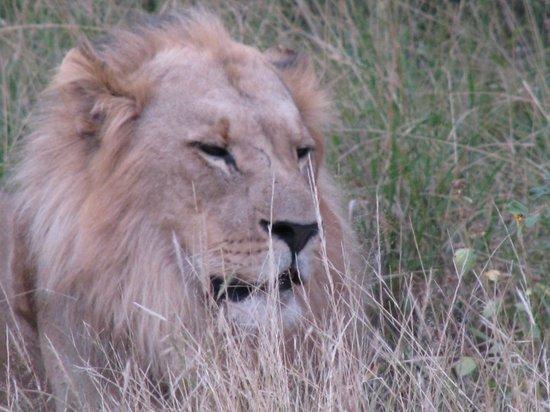 The Vuyani Safari Lodge: Male Lion