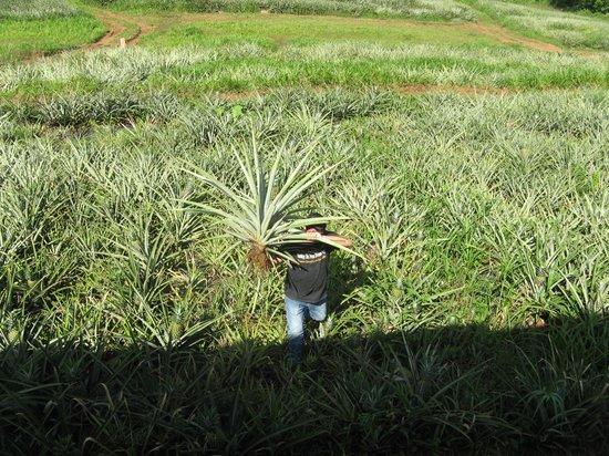 Finca Corsicana Pineapple Farm: Here comes our fresh pineapple!
