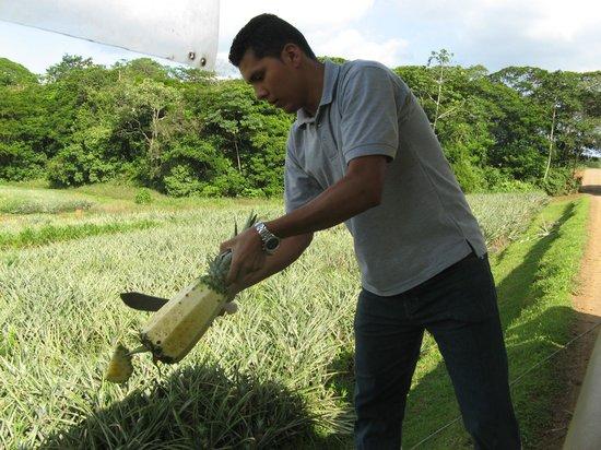 Finca Corsicana Pineapple Farm: Fresh pineapple sliced for us