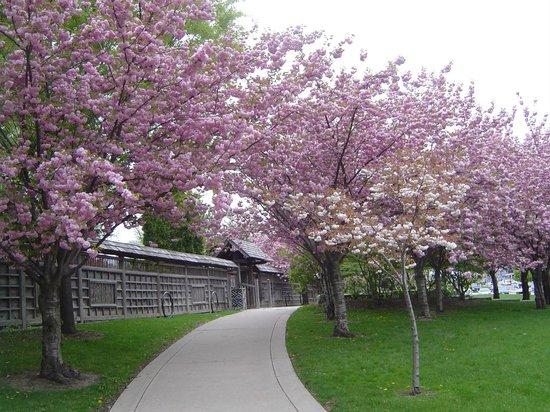 Kariya Park : Double petal cherry blossom