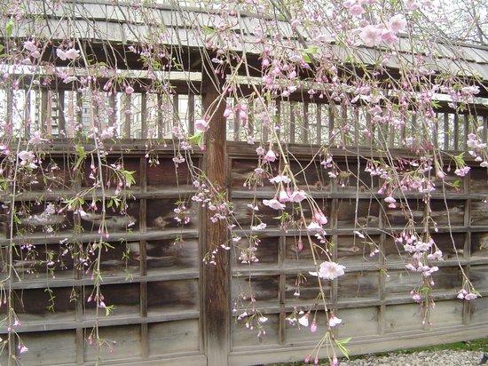 Kariya Park : Lovely fence and cherry blossom, hanging type
