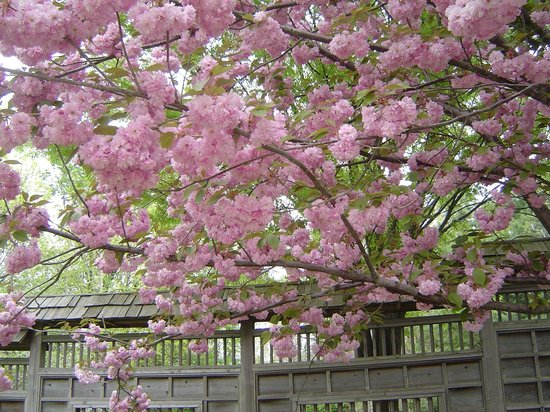 Kariya Park : Cherry blossom - double petal