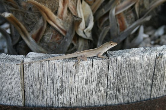 Blue Waters Motel: Lizards everywhere