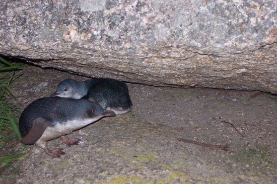 Bicheno's A+ Apartments: Come visit the little penguins