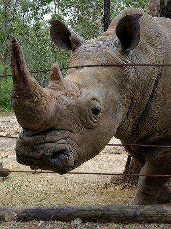Cairns Wildlife Safari Reserve: beautiful white rhino