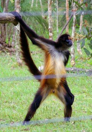 Cairns Wildlife Safari Reserve: monkey