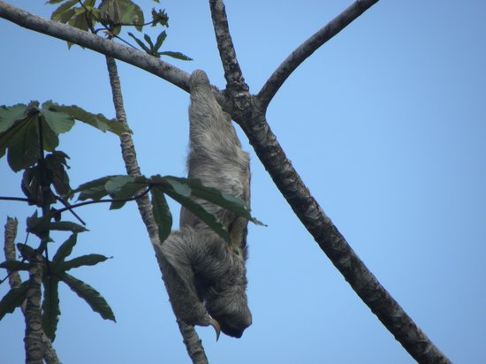 Finca Luna Nueva Lodge: Fantastically lucky sloth sighting