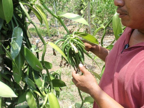 Belize Spice Farm & Botanical Garden: They actually HAND POLLINATE their thriving vanilla crop!