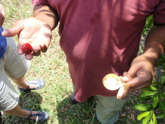 Belize Spice Farm & Botanical Garden: Nutmeg