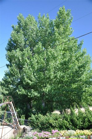 Kinno Big Ginkgo Tree
