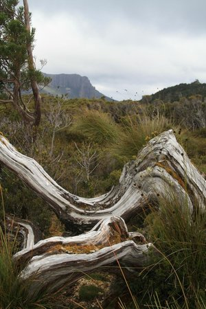 Cradle Mountain Huts: Windswept tree