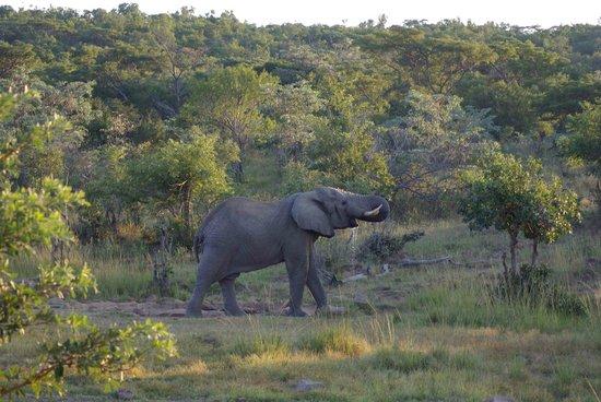 Makweti Safari Lodge: Elephant visible from the deck
