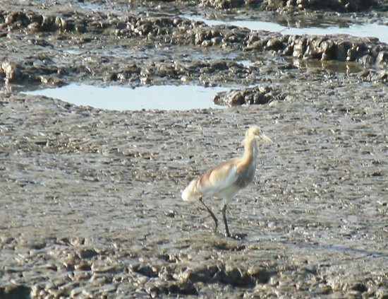 Sewri Jetty: Pond heron