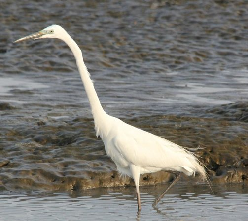 Sewri Jetty: Intermediate or Great Egret (not sure)