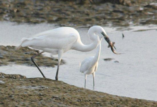 Sewri Jetty: Two egrets, one feeding
