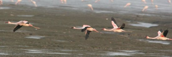 Sewri Jetty: Flamingos in flight