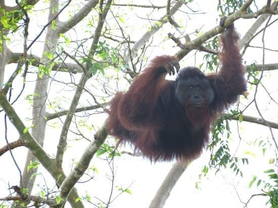 Kinabatangan Riverside Lodge: wild dominant male orang utan on river between Abai and Kinabatangan riverside lodges.