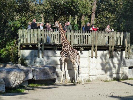 Zoo de la Palmyre : les girafes tt de suite à l'entrée