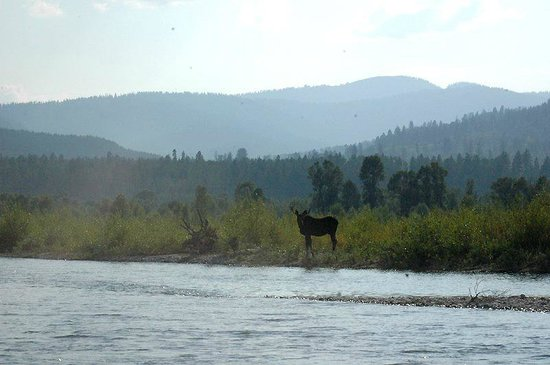 Jackson Hole Whitewater: Moose along the river