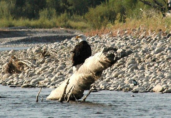 Jackson Hole Whitewater: Bald eagle on the river