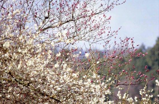 Shimoichi-cho, ญี่ปุ่น: 広橋梅林