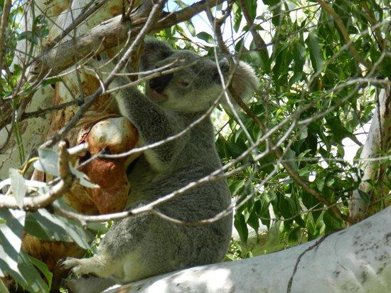 Magnetic Island Bed & Breakfast: Koala - just off property