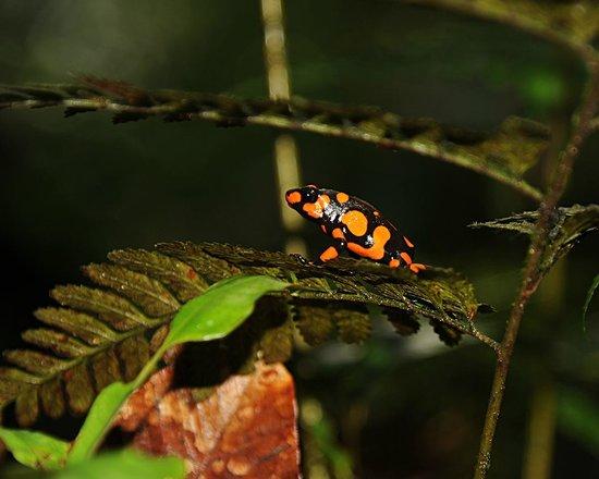 Punta Brava: Dendrobates histrionicus, en la caminata por la selva chocoana