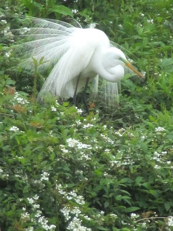 Cypress Wetlands: Great Egret with feathers spread!