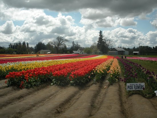 Wooden Shoe Tulip Farm: Ribbons of color