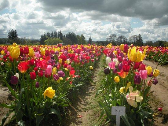 Wooden Shoe Tulip Farm: Mixed tulis
