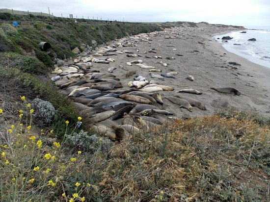 Piedras Blancas: Elephant seals resting on the beach