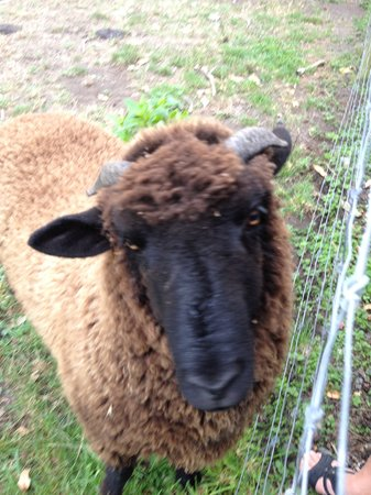 Fyffe Country Lodge : One of the friendly sheep we were able to pet!