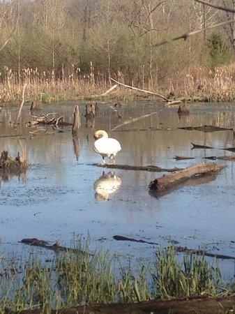 Danville, IL: Trumpeter Swan