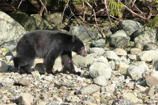 Jamie's Rainforest Inn: black bear (from the bear watching tour)