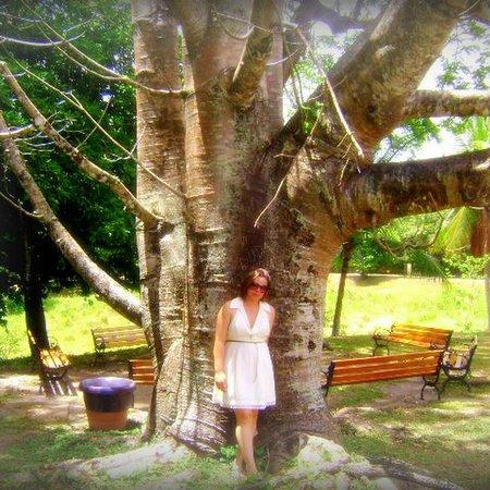 Massangana Sugar Cane Mill: baobá